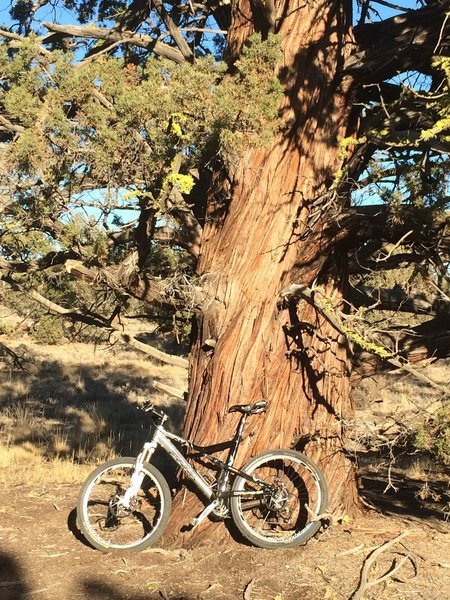 Look for the Big Tree along the trail.