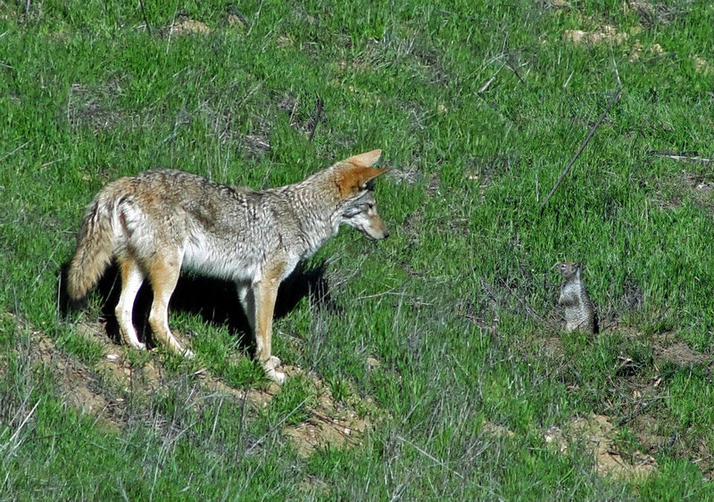 Its a rare day you don't see brother coyote along this route...CHSP version of the Coyote & the Roadrunner.
