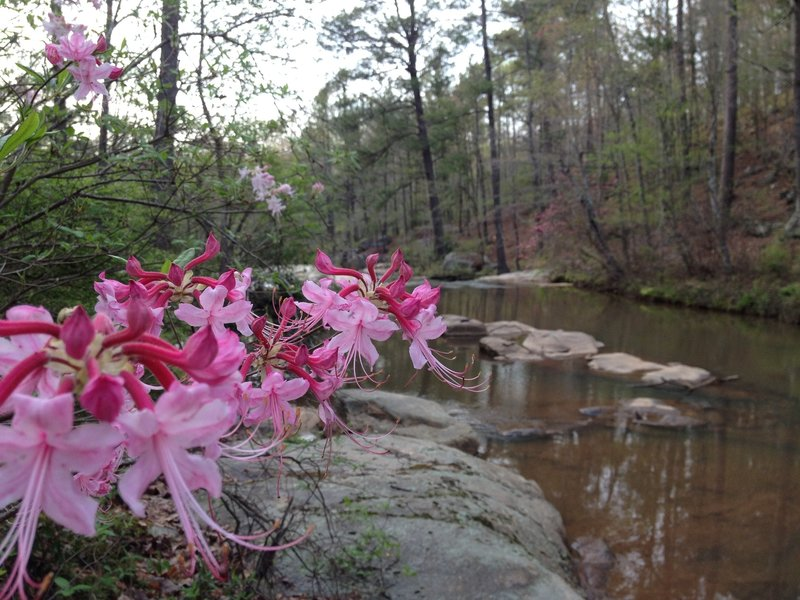 One of the more scenic trails in Georgia. Wild Azaleas about the Henry Mill Falls. The scenery here changes almost weekly.