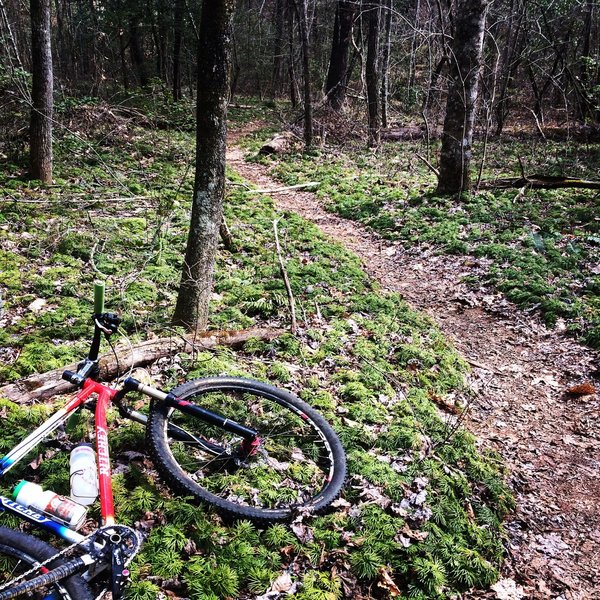 Lush ground cedar along the Stonewall Falls trail.
