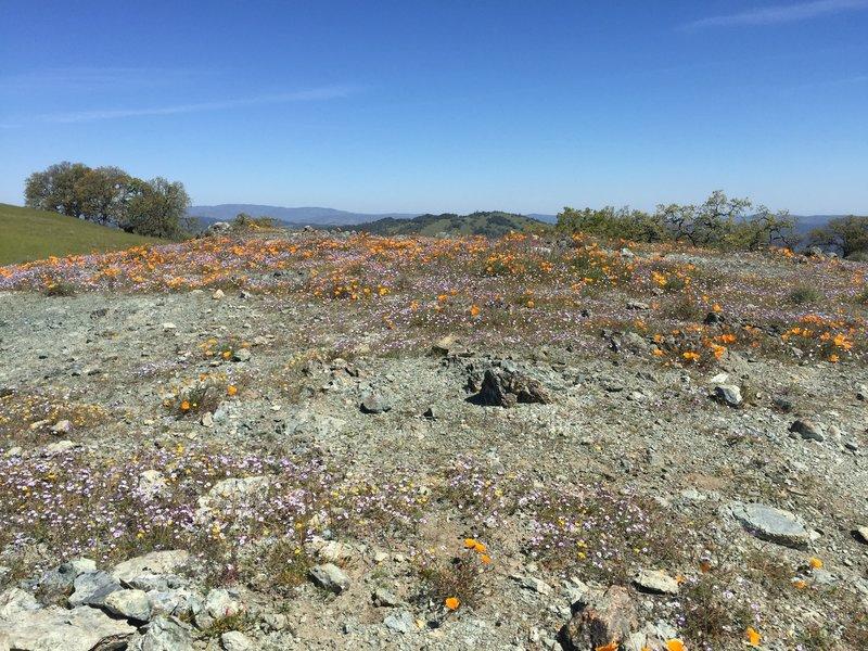 Wildflowers near Wilson Peak
