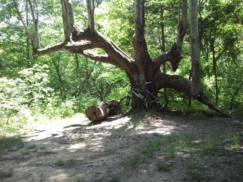 """Big Tree"" or ""Family Tree"""