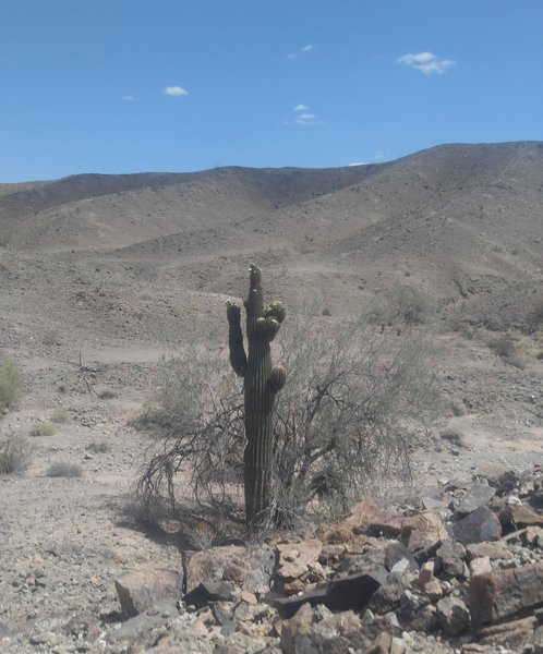 This is not Saguaro country so this monster is unusual.