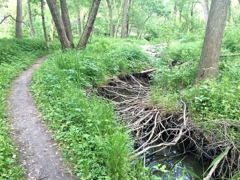 Exposed tree roots alongside the singletrack.