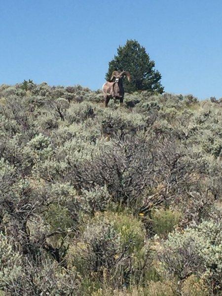 Rift Vally Trail Taos N.M. Big Horn Ram on trail!