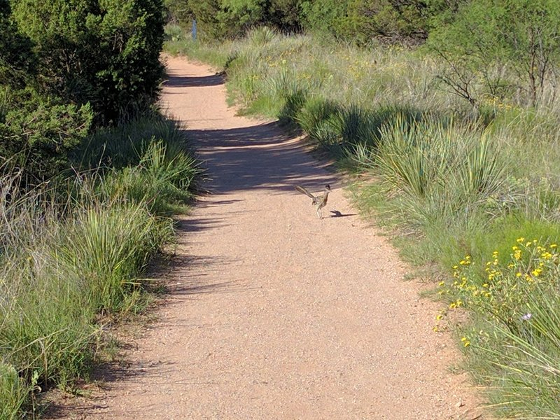 One of the many trail users here in The Canyon. The Greater Roadrunner, Geococcyx californianus.