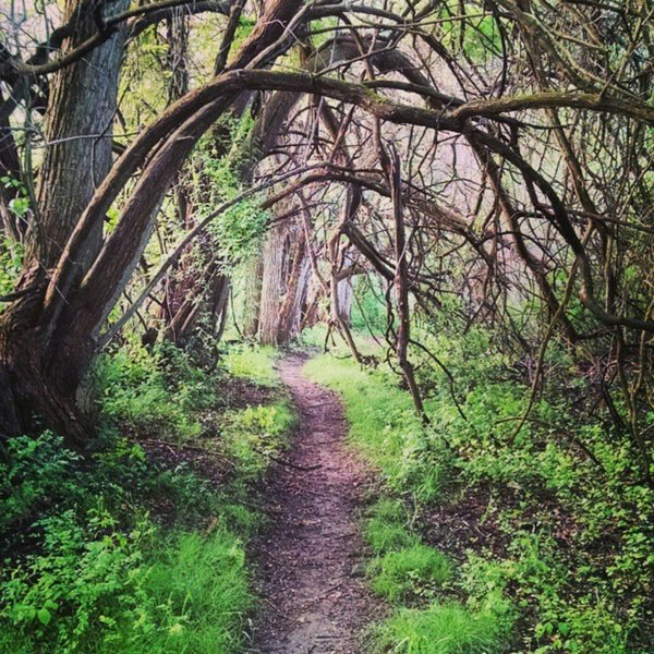 Old time hedgerow that has grown into a cool tree tunnel.