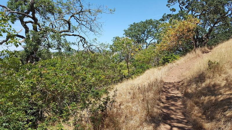 Buckeye Trail winding up through Oaks and Buckeye trees.