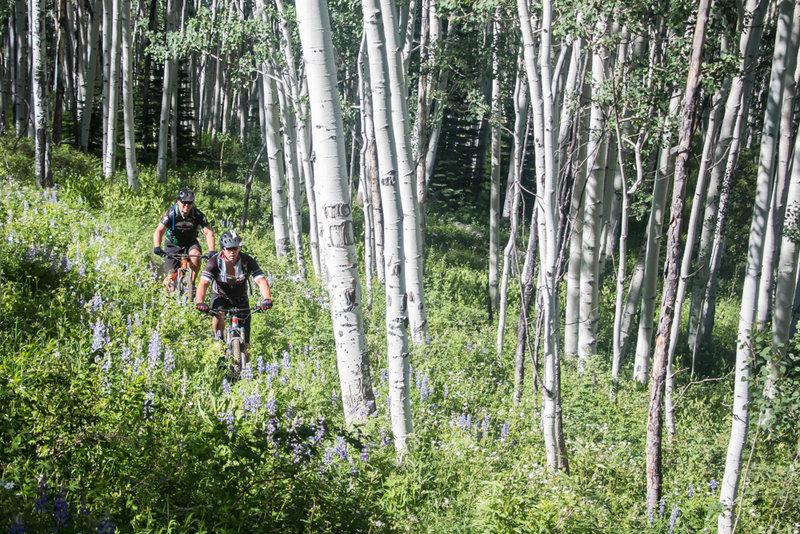 Riding through a giant aspen forest... in Aspen!