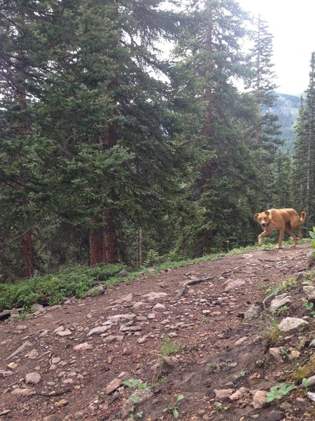 A wild, Telluride dingo lurking along the Prospect trail.