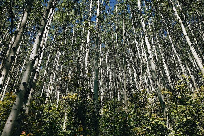 Abercrombie Mountain Aspens.