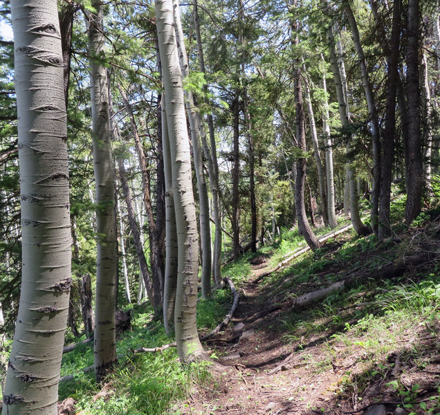 There is nothing more calming than a journey in an aspen forest.
