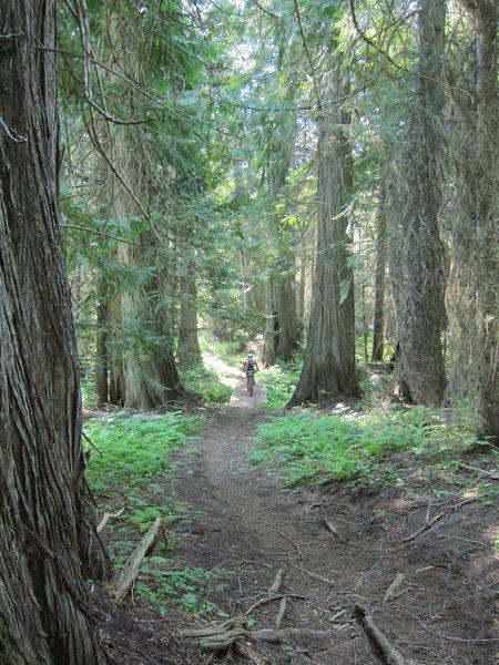 Riding through the cedar grove