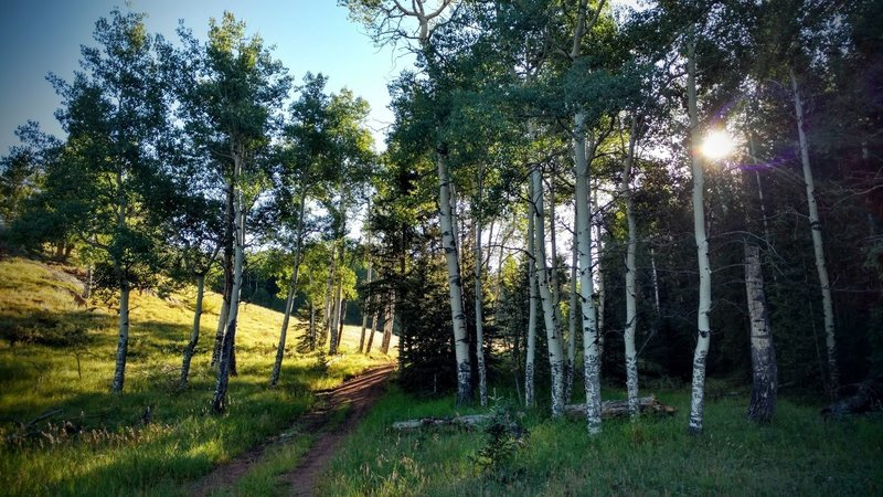 The Homestead Trail passes through a quiet aspen grove.