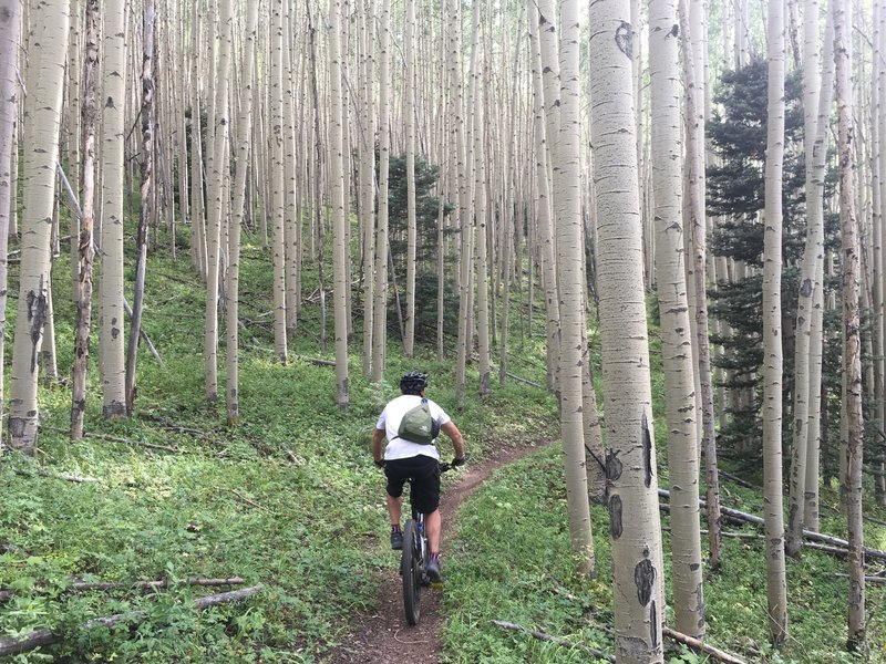 An amazing aspen glade on the south boundary trail #164 in Taos, New Mexico.