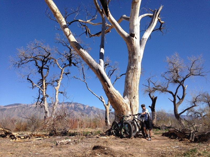 Old cottonwood tress near the Rio Grande.