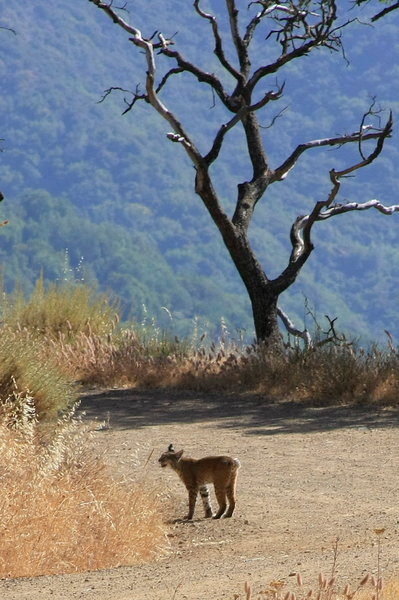 Bobcat on the Mine Hill Trail. with permission from Alexander Avtanski