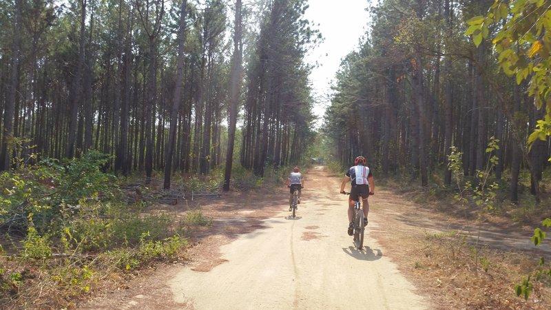Pine and teak plantation ahead.