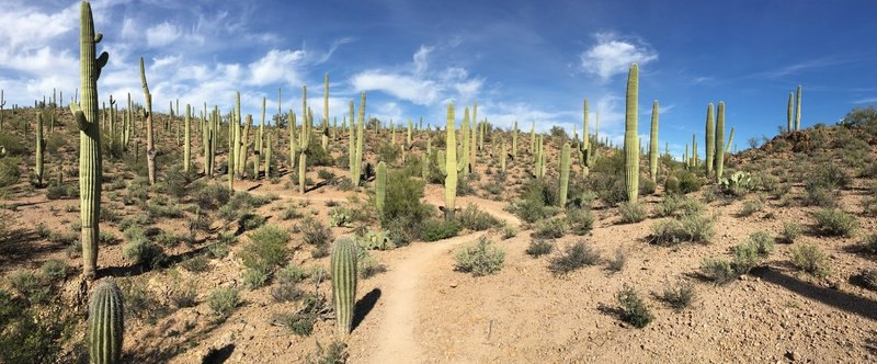 Incredible section of cacti in Sweetwater Preserve.