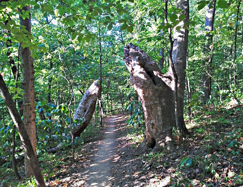 The trail heading through an enormous tree. with permission from opscene