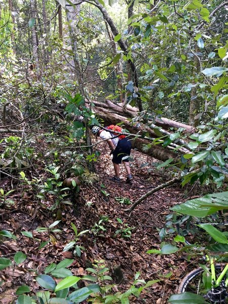 Checking out the fallen tree over trail. Easy to pass under, or take the tight, ad hoc singletrack up hill and around tree.