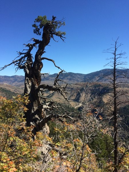 The reason you ride this ride, the old juniper tree