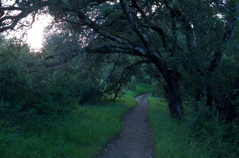 The Meadow Trail begins to enter a corridor lined with trees.