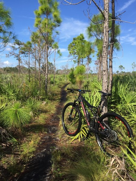 This section of the trail system was very wet & palmetto roots were in abundance.