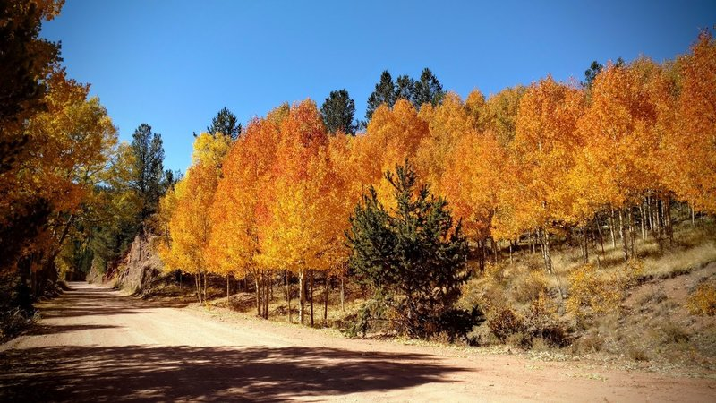 Autumn aspens blaze in the afternoon sunlight along Gold Camp Road.
