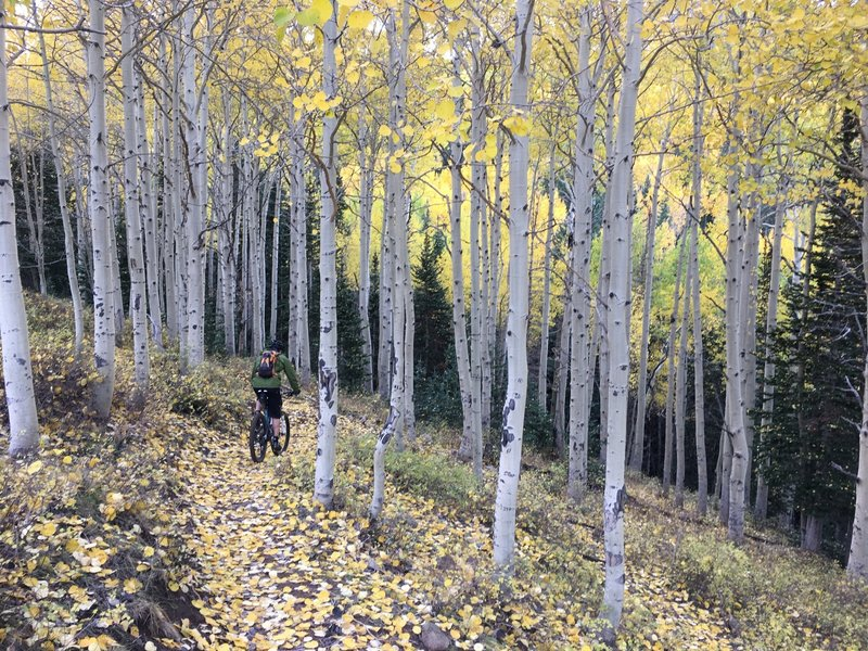 Cruising the aspens of Spring Creek.