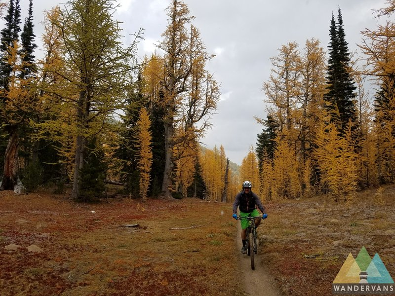 Great Larch shot.