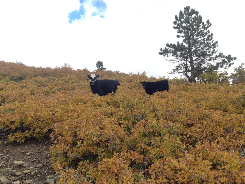 Local ranchers use this land for cattle grazing. The cows like to use this trail too.