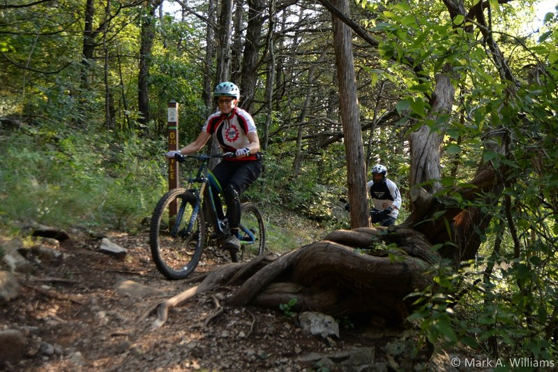 Riders pass by an iconic gnarled cedar on a high section of the trail.