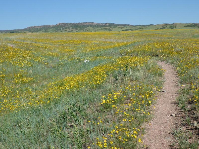 Spring wildflowers on the Pronghorn Loop