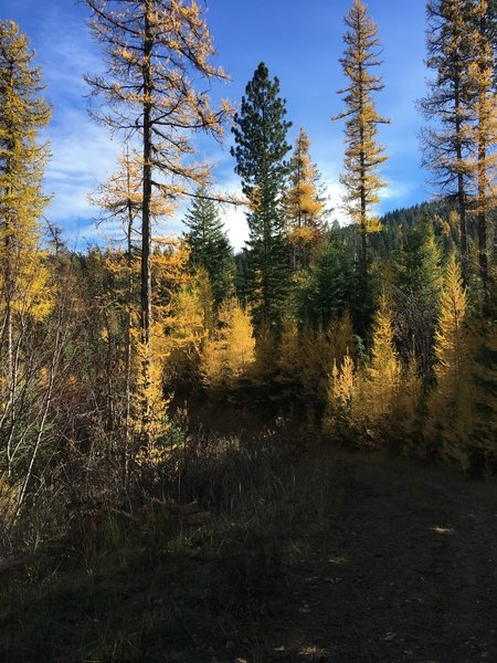 Tamaracks in fall colors on the descent.