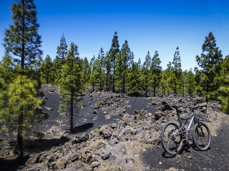 Pine trees growing from the crushed lava rock from the 1706 eruption of Mt Teide.