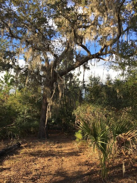 This is one of the largest oaks on the property (So far...).