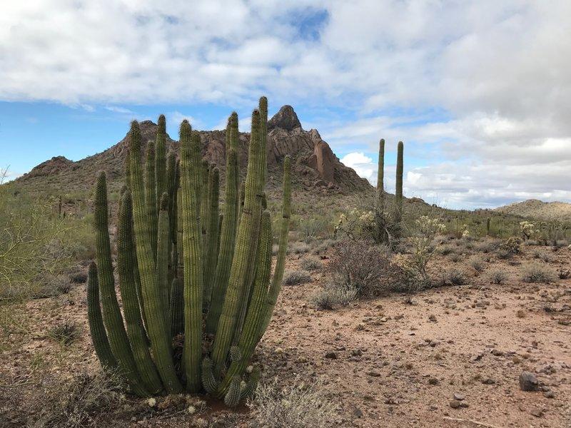 Organ Pipe Cactus abound!