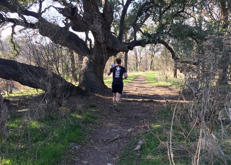 The big Live Oak on the multi-use Coyote Run Trail.