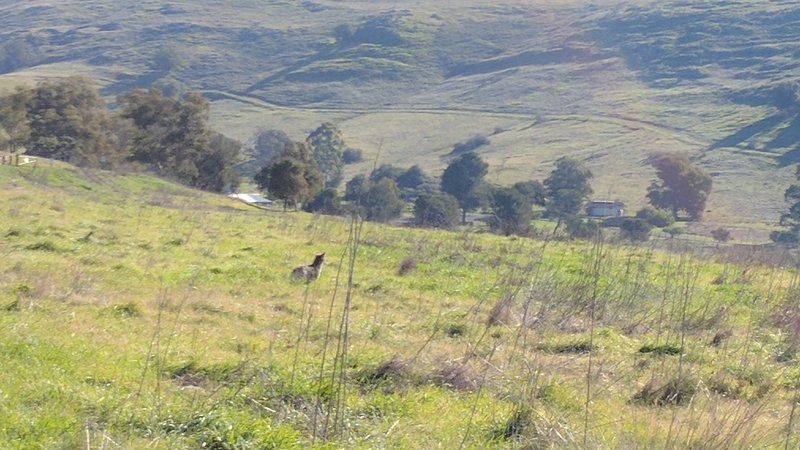 A coyote looks for food in Santa Teresa County Park.