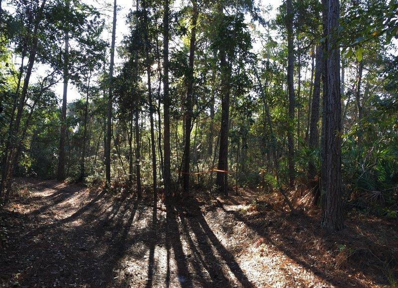 Morning sun peeks through the trees on Pine Needle Punch!