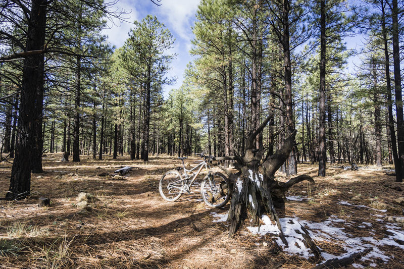 Arizona Trail singletrack flows through a forest recovering from a recent fire near the Grand Canyon.