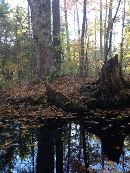 A small vernal pool collects alongside Red 1 in Jenksville State Forest.