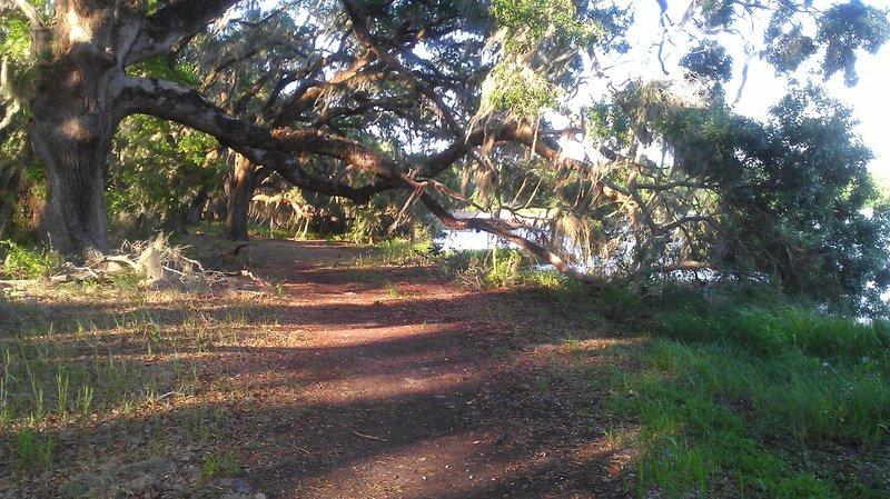 Live oak stand alongside Piney Z Lake.