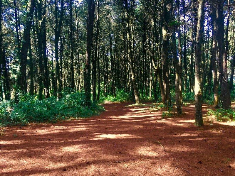 Beautiful pine and cypress trees are all around on the Vuelta Santa Rosalia.