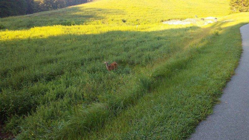 Deer graze alongside the paved park path.