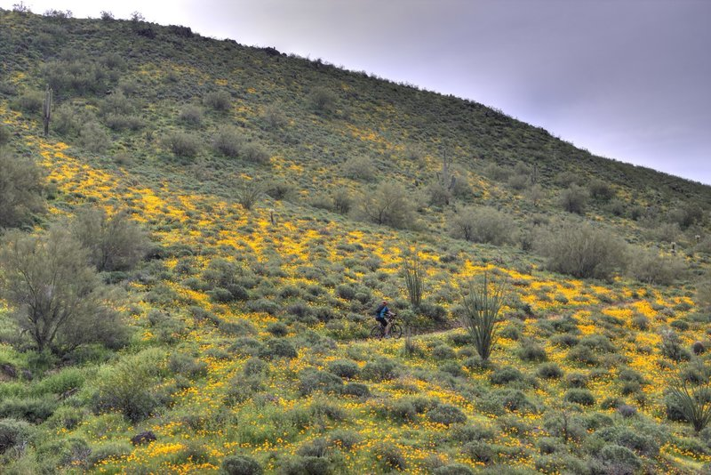 The hills are alive...with poppies.