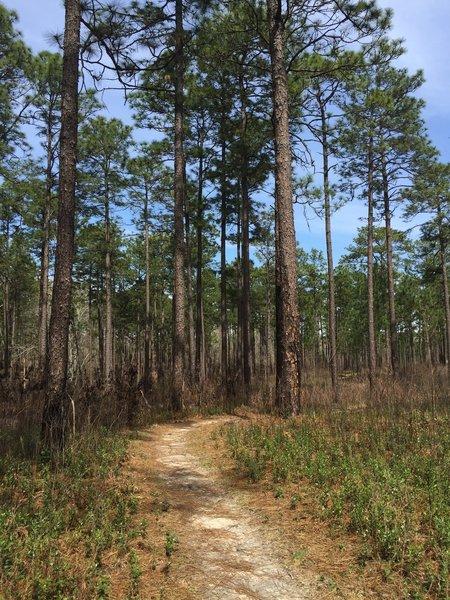 Longleaf pines make a pleasant companion to the singletrack.