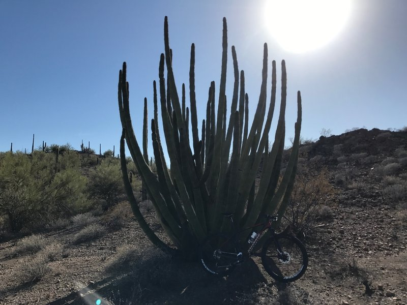 Organ pipe cacti stand alongside the trail on Locomotive Rock.