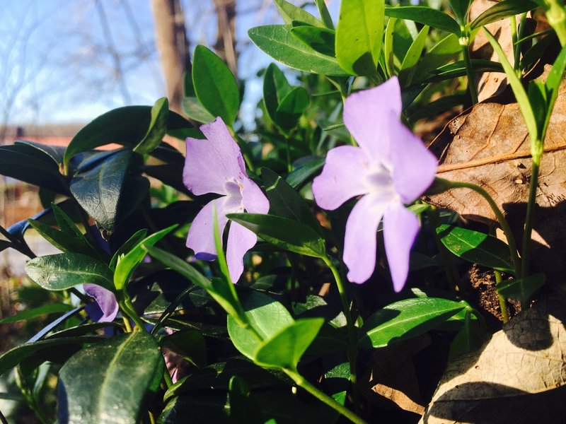 Neat little flowers grow next to the Razorback Regional Greenway in early spring.